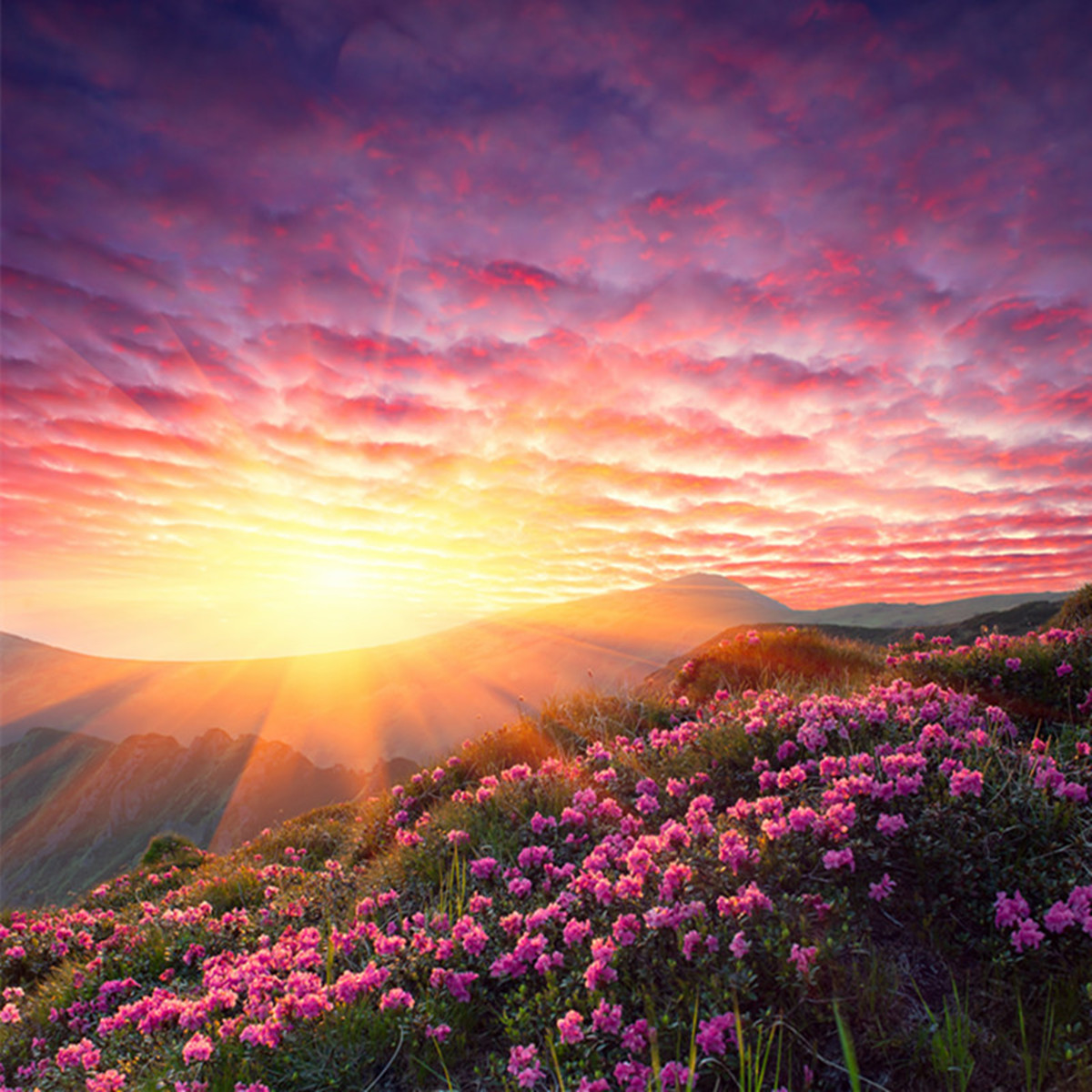 Sunrise Above The Flowers